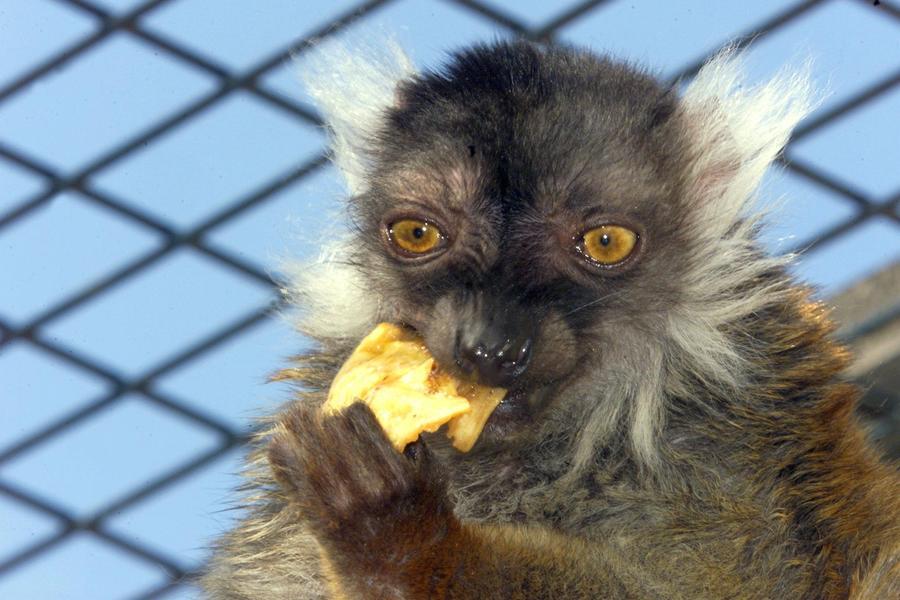 Млекопитающие перешли на моногамию, чтобы сохранить партнершу и предотвратить детоубийство