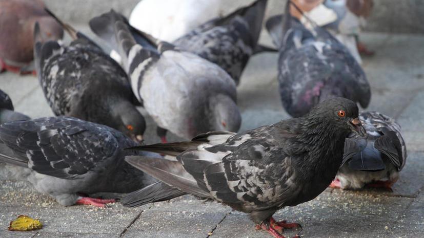 Московских птиц проверят на вирусные заболевания