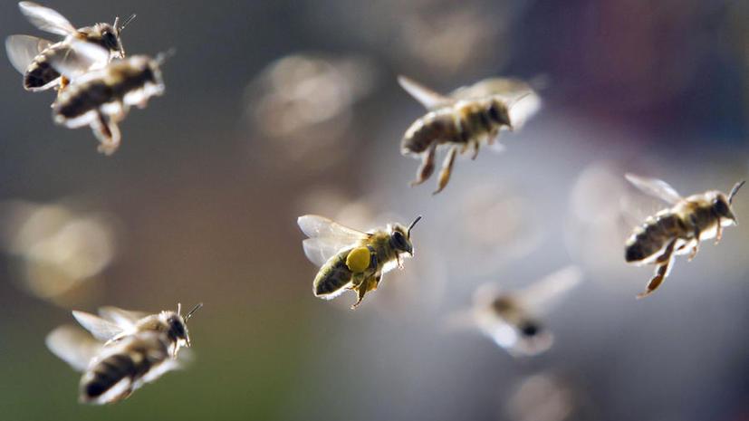 Бразильский полицейский стал жертвой атаки диких пчёл