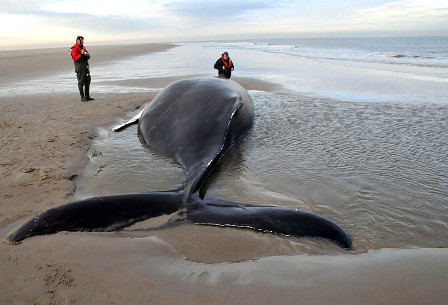 У Новой Зеландии выбросило на берег «ископаемого кита»