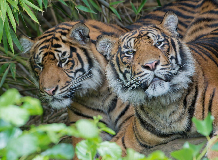 В Индонезии пятеро мужчин уже третий день сидят на дереве, спасаясь от тигров