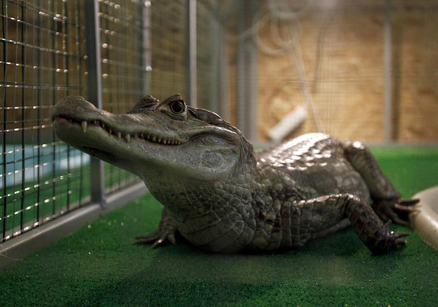 Во время наводнения в Китае с фермы сбежали 24 крокодила