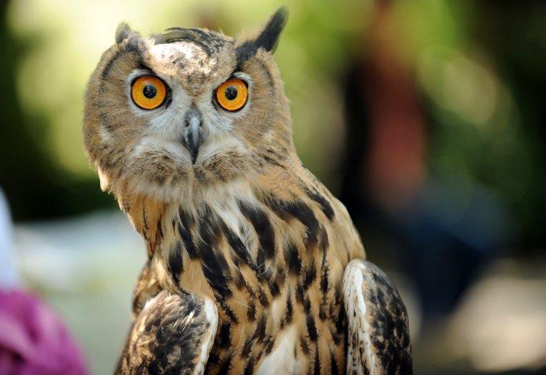 Ученые из США выяснили, почему совы могут поворачивать голову на 270°
