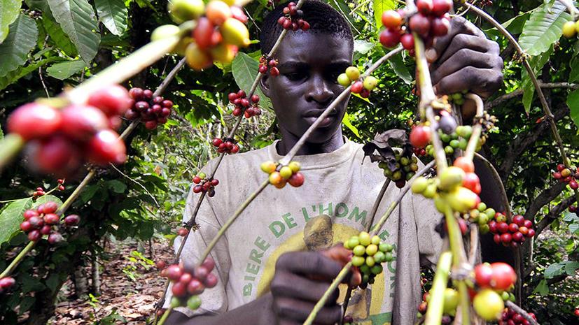 Мир ждет глобальный неурожай кофе: плантации арабики пострадали от опасного паразита