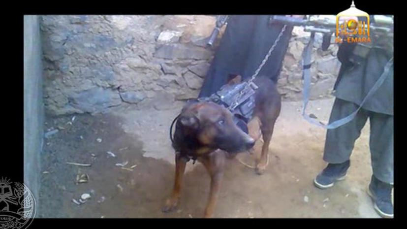 Афганские талибы взяли в плен служебную собаку