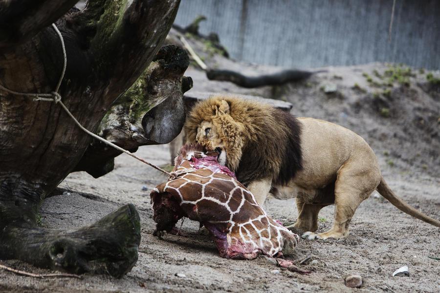 В зоопарке Копенгагена, несмотря на протесты, отдали на корм львам молодого жирафа Мариуса