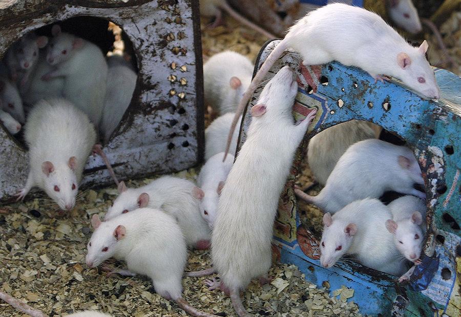 Нейробиологи научились отключать чувство холода у мышей