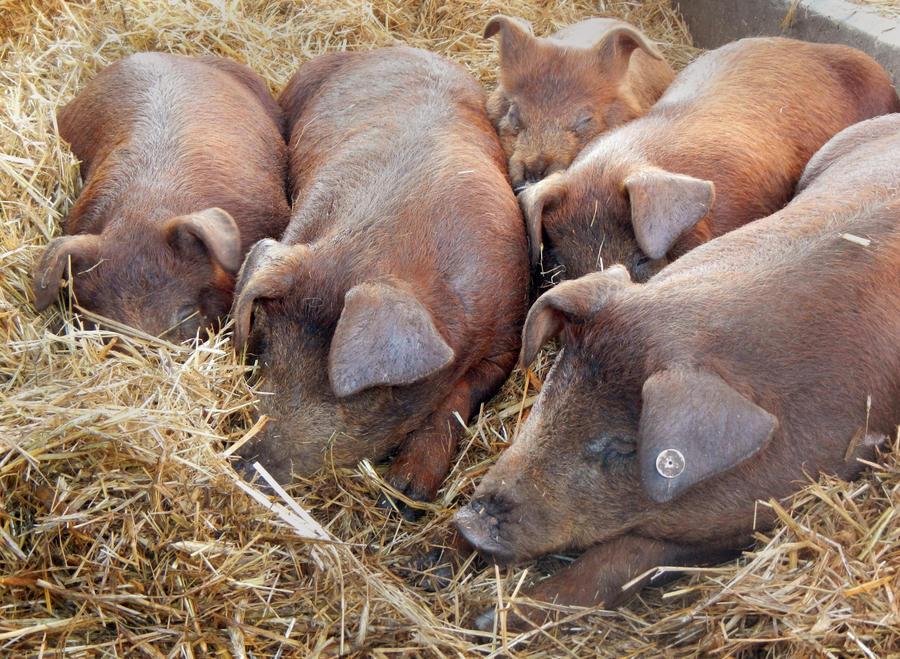 Французский суд постановил выплатить компенсацию работнику фермы, оглохшему от поросячьего визга