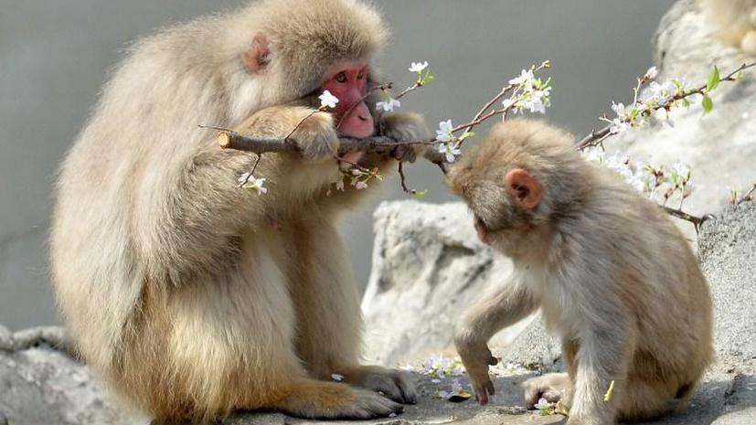 Американские учёные научили обезьян считать