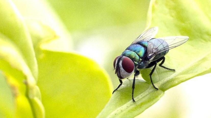NASA отправит на МКС стаю мух