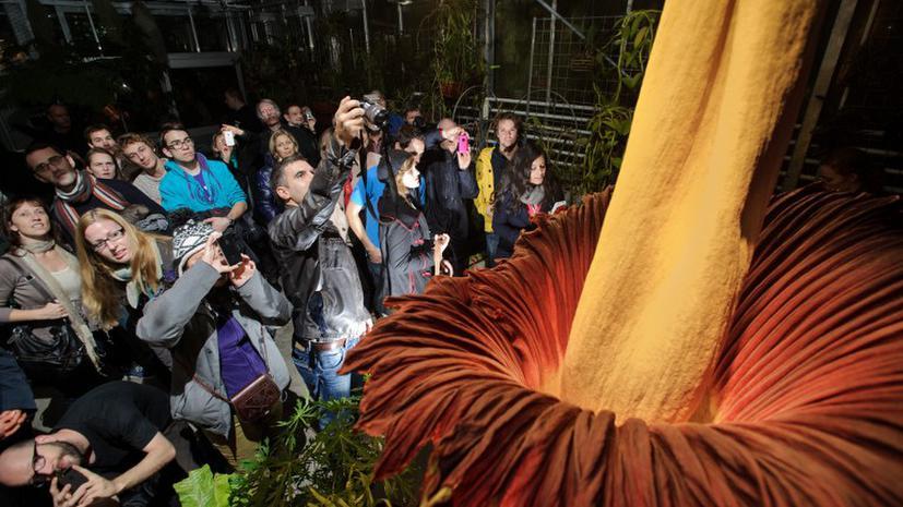 """В Швейцарии расцвел самый большой """"трупный цветок"""""""