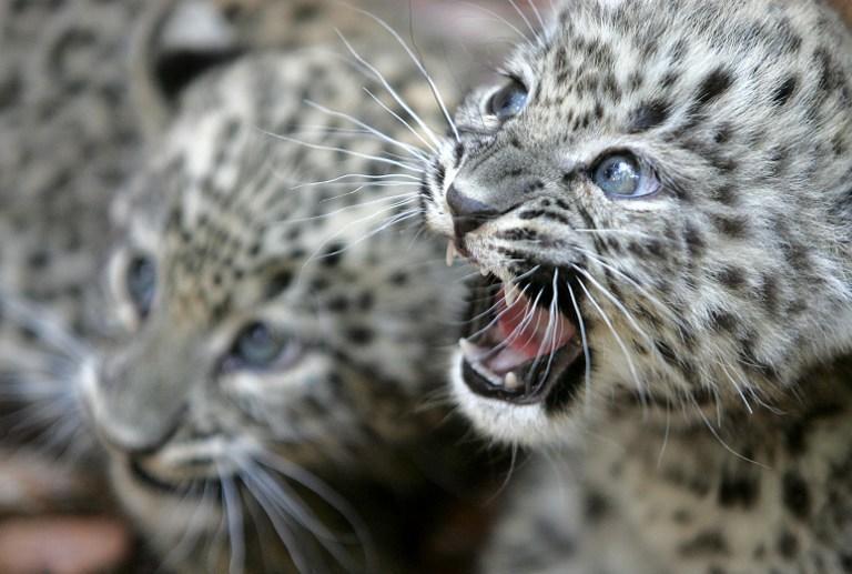 В Сочинском нацпарке появилось первое потомство переднеазиатских леопардов